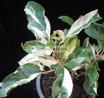 Citharexylum spinosum variegated 45
