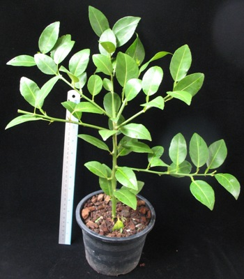Citrus aurantifolia (fruit for cooking, sour taste) 20