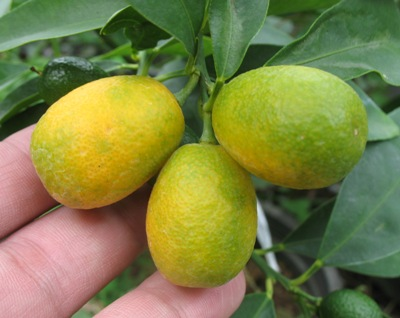 Citrus japonica (Kumquat) (TF) 30