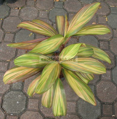 Cordyline Petch Roong Aroon