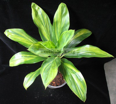 Cordyline Petch Sai Thong Kum