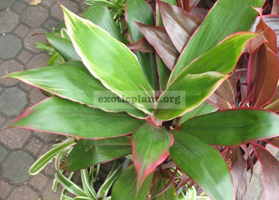 Cordyline Petch Ta Maew