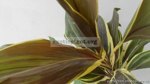 Cordyline fruticosa Mocha Latte 20