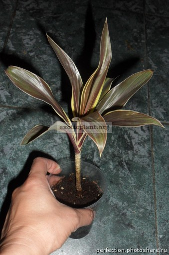 Cordyline fruticosa Mocha Latte compacta 15