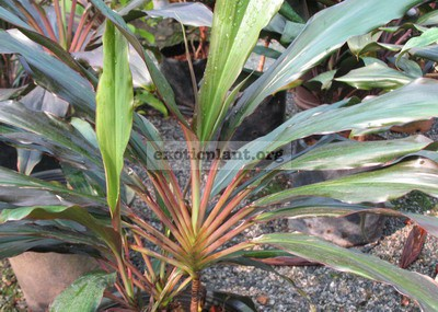 Cordyline sp.(T01) fan shape 40