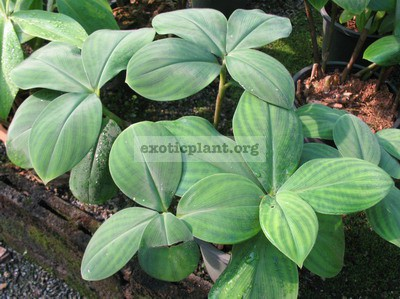 Costus sp.(T01) dense hair leaf 26