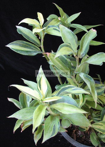 Costus sp. (white variegated) 20
