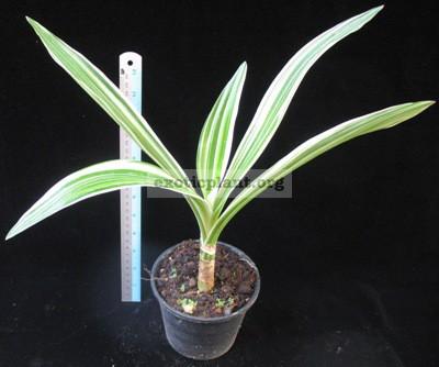 Crinum asiaticum albomarginata 20