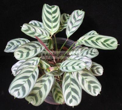 Ctenanthe burle-marxii (silver leaf) 20