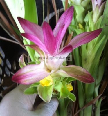 Curcuma sp 'Bangsaphan Pink' 20