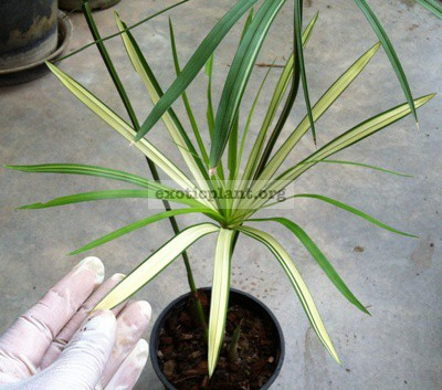 Cyperus involucratus syn Cyperus alternifolius variegated / Циперус вариегатный, Сыть зонтичная, Циперус очереднолистный 44