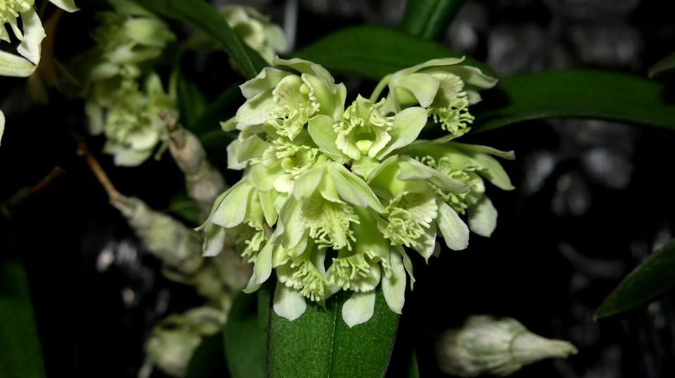 228 Dendrobium delacourii BS 12-40