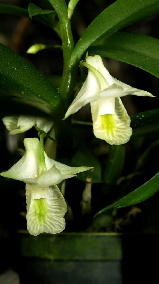 301 Dendrobium trinervium BS 12-40