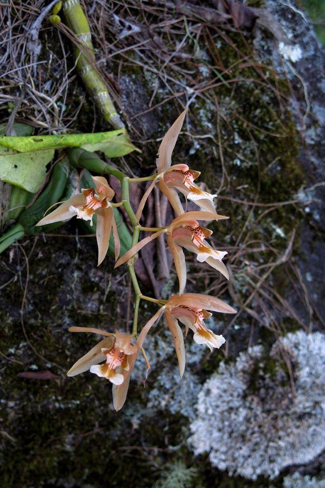 253 Dendrobium heterocarpum BS 12-40