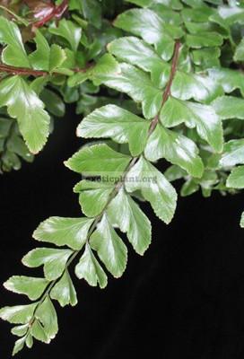 Didymochlaena truncatula = Dudia sp.(T01) 30