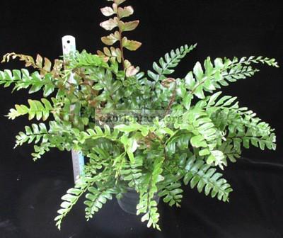 Didymochlaena truncatula (Hawaii) (Fern) 30