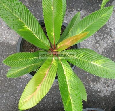 Dillenia indica variegata 70