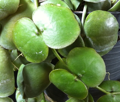 814 Dischidia imbricata(wax leaf)(#814) 10