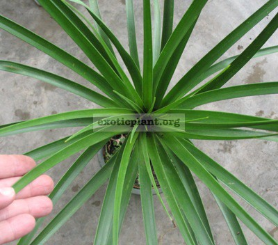 Dracaena loureiri (narrow leaf) 40
