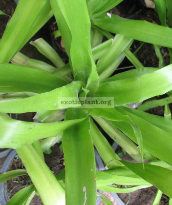 Dracaena loureiri (wide leaf) 20