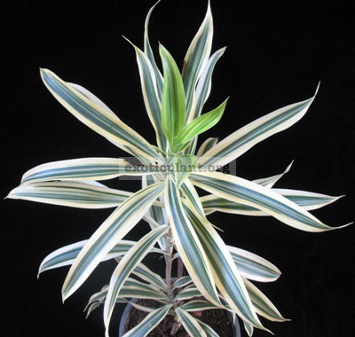 Dracaena reflexa 'Song of India' 14