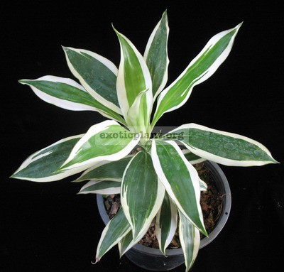 Dracaena sp.(T02) albomarginata 75