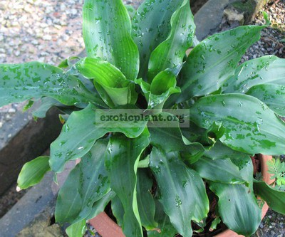 Dracaena sp.(T04) compact and wavy edge leaf 23