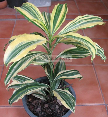 Dracaena sp.(T09) variegated 60