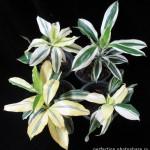 Dracaena sp (group)variegated