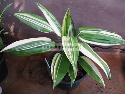 Dracaena thalioides variegata 55