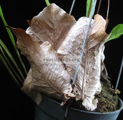 Drynaria bonii (Burma) 30