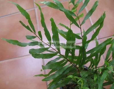 Drynaria rigidula (Burma) 24