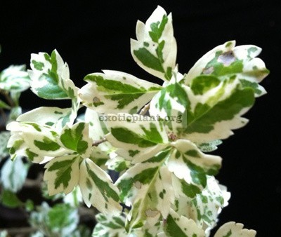 Duranta erecta 'Snow Flurry' 35