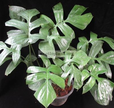 Epipremnum sp.(T04) Giant leaf 35