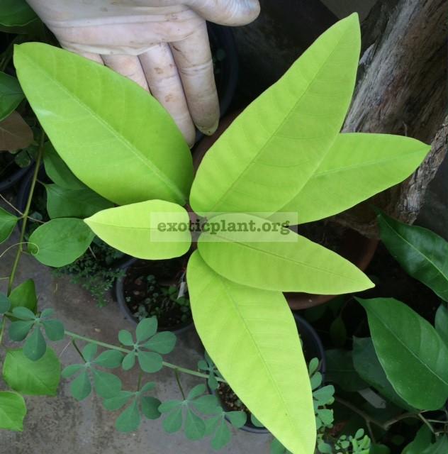 Ficus sp.(T15) long leaf 45
