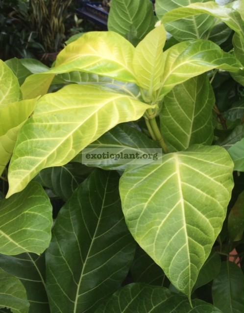 Ficus sp.(T32)  Golden Supreme  75
