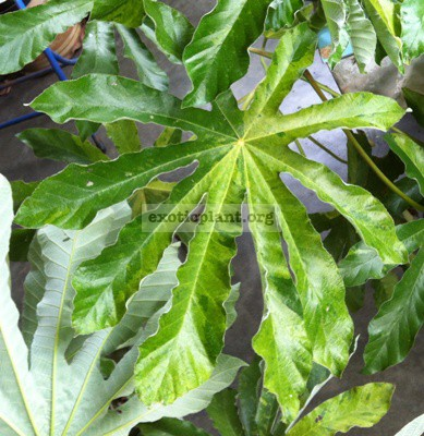 Ficus sp.(T44) variegated 55 (maybe not Ficus)