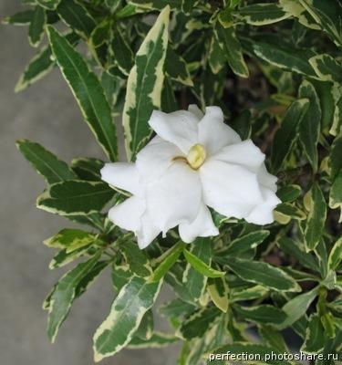 Gardenia Radicans Variegata 20