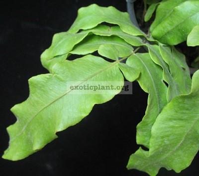 Goniophlebium verrucosum (dense hair leaf) 35