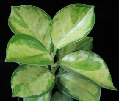 27 Hoya australis variegata  Sunnyside up' 38