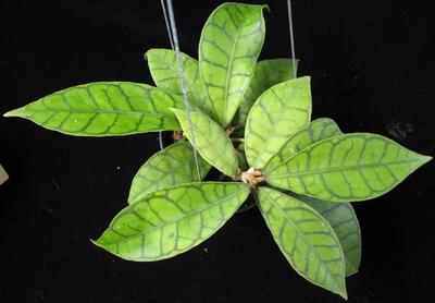 35 Hoya callistophylla 43