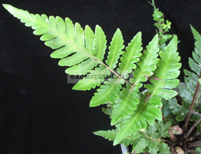 Heterogonium pinnatum 20