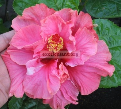 Hibiscus Double Pink (Indonesia) 20