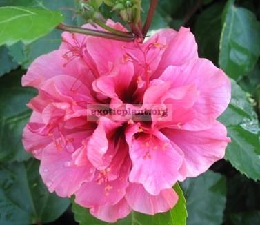 Hibiscus Kunming Pink 20