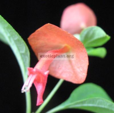 Holmskioldia sanguinea (orange flower)(EP) 20