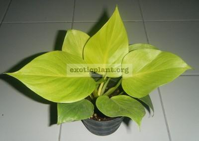 Homalomena lindenii  Lemon Glow  15