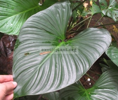 Homalomena sp.(T02) Southern Thailand 24