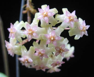 570 Hoya balaensis 32