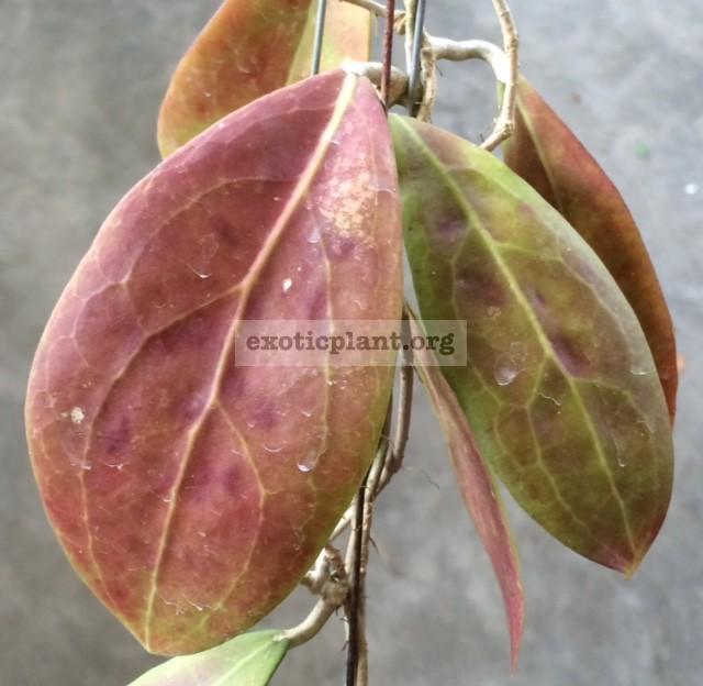 81 Hoya erythrostemma No.3 (Mae Hong Sorn) 25