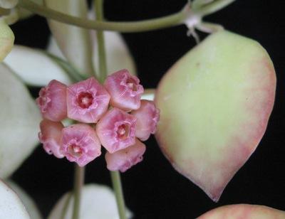 104 Hoya heuschkeliana (Pink) 14